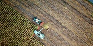 Kilka uwag o chwastach jednoliściennych w kukurydzy